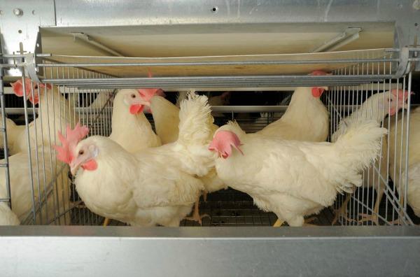 Conventional Hen Barns B